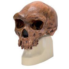 Enmarcado impresión-Homo rhodesiensis cráneo (Antropología animal humano Foto)