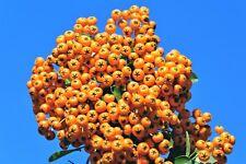 100 SEABERRY Sea Buckthorn Elaeagnus Hippophae Orange Berry Fruit Shrub Seeds