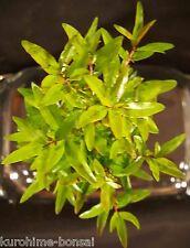 Dwarf Pomegranate Tree! Bonsai Starter Mame/Shohin  Indoor/Outdoor!
