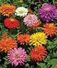 300 CACTUS FLOWERED ZINNIA Burpeeana Giant Mix Seeds
