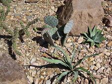 Opuntia chlorotica SANTA RITA PURPLE PRICKLY PEAR CACTUS Seeds