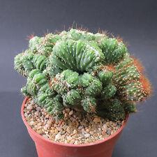 Cereus peruvianus fa. monstrosus, 13,0 cm große ältere Pflanze (6842)