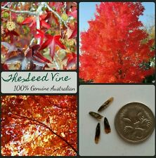 10+ AMERICAN SWEETGUM TREE SEEDS (Liquidambar styraciflua) Autumn Red Garden