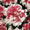 Petunia Seeds 50 Pelleted Red Piroutte Petunia Pirouette Red Petunia