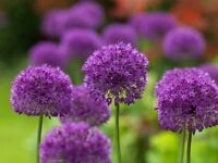 3,5,10, 25 or 50 Allium Purple Sensation bulbs - FREE P&P