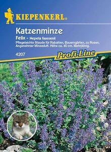 """Katzenminze """" Felix """" frischer Minzeduft    ihre Katze wird es lieben  Samen"""
