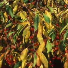 Malus Sun Rival Tree 12 litre Pot