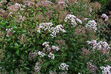 Eupatorium micranthum (20 Seeds/graines)