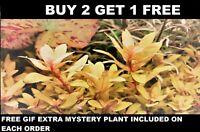Nesaea pedicellata 'Golden' Bunch Aquatic Live Aquarium Plants BUY2GET1FREE