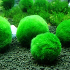 Giant Marimo Moss Ball Cladophora Live Aquarium Plant Fish Aquarium Decor 3-5cm