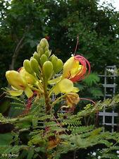 Garten Pflanzen Samen  Zierpflanze Saatgut Staude PARADIESVOGEL-BUSCH