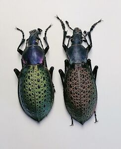 Carabus (Coptolabrus) formosus Ninxia 8072