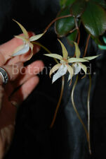 Botanica Ltd. Aerangis monantha *Madagascar* Blooming Size Species Orchid Plant  00002Bef