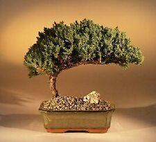 "6 y.o. Juniper Bonsai Tree Juniper Procumbens Nana 7"" tall Evergreen"