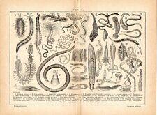 Stampa antica VERMI di diverso genere Ermione Arenicola Trichina 1910 Old print