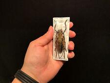 Insecte Entomologie Cerambycidae Superbe Femelle Batocera wallacei proserpina!!