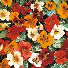Nasturtium Flower Seeds - Jewel Mix - Bulk *