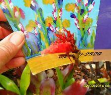 Begonia 'Dragon Wing Red' Cuttings x 2 Pink Flowering