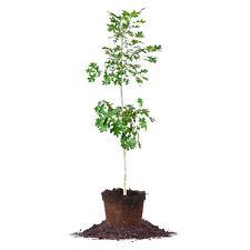 Nuttall Oak Tree, Live Plant, Size: 3-4 ft.