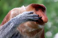 Nose Picking Proboscis Monkey Photo Art Print Mural Poster 36x54 inch