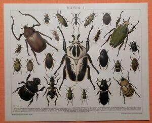 Käfer I  Totengräber Pinselkäfer Goldschmied Coleoptera  LITHOGRAPHIE von 1893