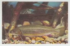 "[67144] OLD JOHN G SHEDD AQUARIUM CHROME POSTCARD ""EASTERN BROOK TROUT"""