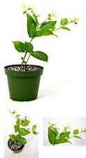 Jasminum Sambac ~Single~ Arabian Jasmine Live Plant Home and Grarden New