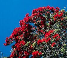 wunderschön als Baum oder Strauch: roter Weihnachtsbaum