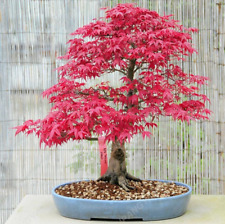 20 Pcs Seeds Japanese Maple Plants Rare Mini Bonsai Tree Garden Decoration 2019