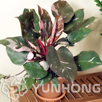 Philodendron Erubescens Bonsai 10 Kinds Multi-Colors Plants Garden 100 PCS Seeds