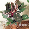 Philodendron Erubescens Bonsai 100 PCS Seeds 10 Kinds Multi-Colors Plants Garden