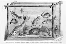 AQUARIUM JAPONAIS (Capucine, Marbre, Superbe, Rubicon...etc.) - Gravure du 19e s