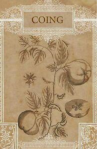 "Quince Botanical Art Print French Quince Vintage Botanical Art 4 x 6"" - 16 x 24"""