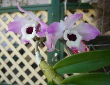 1x  orchid  plant - Dendrobium Nobile