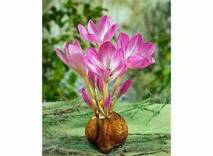 3 COLCHICUM The Giant (NAKED LADIES) BULBS AUTUMN NO SOIL NEEDED PERENNIAL