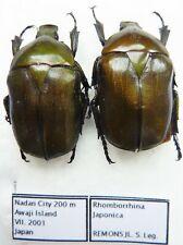 Romborrhina japonica (2 ex A1) from JAPAN (Cetoniidae)