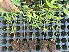 5 live Neem Plant , Nim / Margosa ( Kohomba) healthy 5 Plants