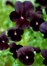 "25 graines de VIOLETTE NOIRE (Viola Nigra ""BOWLES BLACK"")X198 SEEDS SEMILLA SEMI"