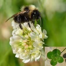 Trebol Blanco 10.000 semillas Abono Verde Trébol Trifolium repens cuatro