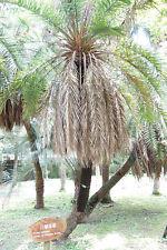 """Phoenix loureiroi var. humilis """"Mountain Date Palm"""" Cold Hardy - 10 seeds"""