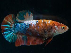 Female Betta live Koi Orange Multicolor Copper Galaxy fish HMPK Plakat
