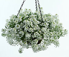 Flower Seeds - ALYSSUM Snow Carpet - White Flower Clusters - Pack of 50 Seeds