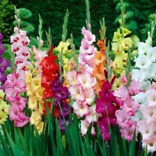 100 Pcs Gladiolus Seeds Gladiolus Flower Seeds Aerobic Potted Plants Mixed Color