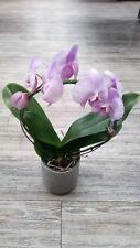 Phalaenopsis Moth orchid lilac seeds x10 UK