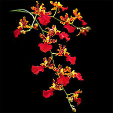 Orchid Acanthephippium Flower 36 Seeds Species (Type T23) Real Seeds
