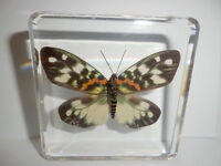 Red Stripe Moth Erasmia pulchella in Clear Paperweight Learning Specimen