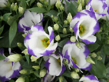 Eustoma / Lisianthus Sapphire Blue Chip F1 terry grandiflora Flower Seeds