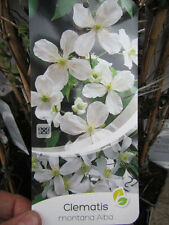 "Clematis montana "" alba"" - Winterharte Pflanze 80-100cm - Waldrebe"