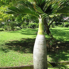 50X bottle palm tree seeds exotic plants bonsai tree tropical ornamental freshHC