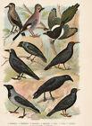 Vögel Nußknacker Alpenkrähe Dohle - Alter Farbdruck 1923 - Bild Druck Old Print